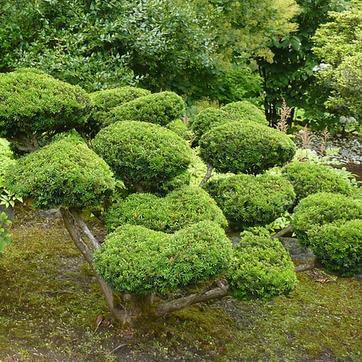 L art du niwaki comment tailler les arbres et arbustes for Arbre qui pousse rapidement