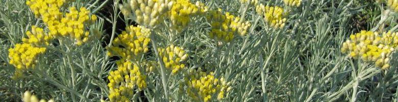 la plante curry h lichrysum italicum l immortelle d italie culture entretien. Black Bedroom Furniture Sets. Home Design Ideas