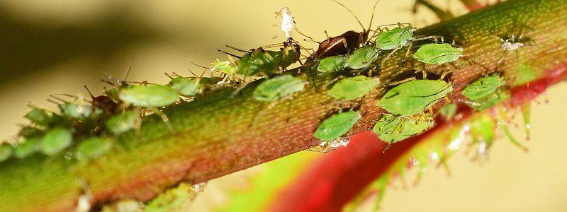 insectes nuisibles au jardin d gat sur les arbres l gumes et fleurs lutte biologique. Black Bedroom Furniture Sets. Home Design Ideas