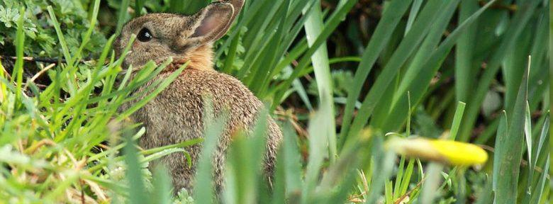 Faire fuir les lapins du jardin et prot ger les cultures - Faire fuir les oiseaux dans un jardin ...