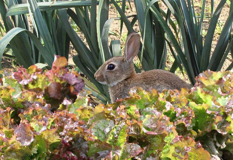 Faire fuir les lapins du jardin et prot ger les cultures - Quelles sont les plantes que l on peut bouturer ...