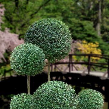 Troène (Ligustrum) : une valeur sûre au jardin bio.