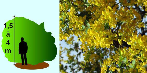 Mahonia des fleurs et du parfum en hiver au jardin for Portent feuilles