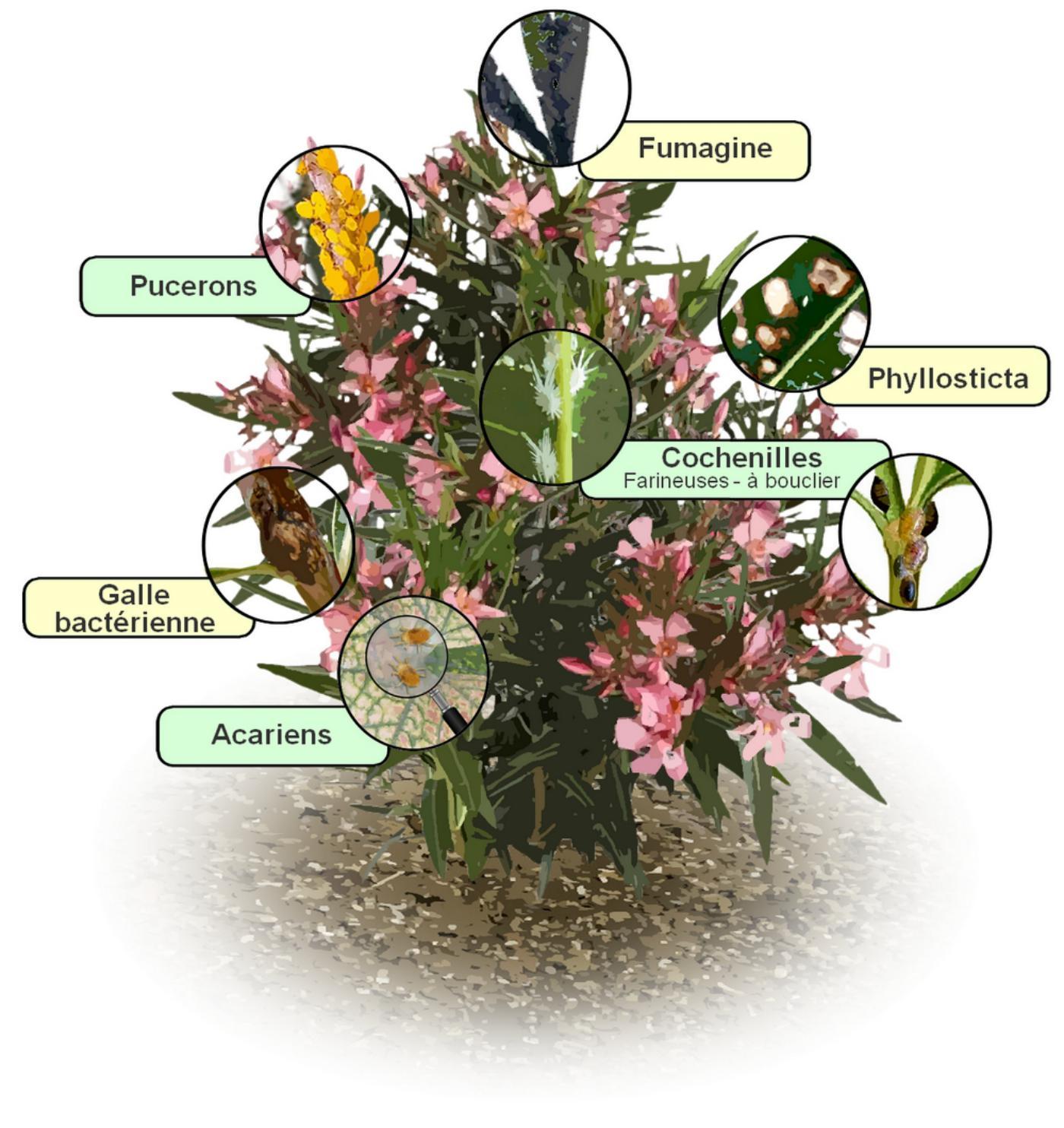 100 Génial Concepts Comment Traiter Les Pucerons Des Lauriers Roses