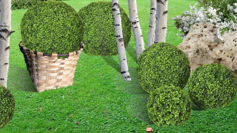 planter et cr er un massif de buis en boule. Black Bedroom Furniture Sets. Home Design Ideas
