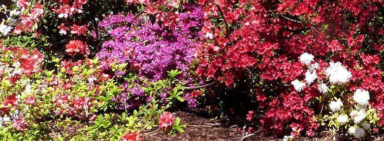 Les plantes de terre de bruy re plantation culture - Terre de bruyere ...