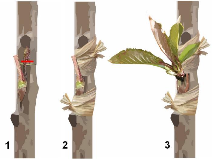 Cerisier greffez en cusson au mois de juillet et aout - Greffe du cerisier au printemps ...