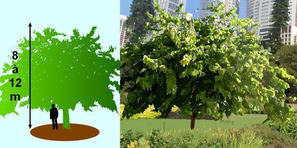 Les muriers de beaux arbres d ornement avec des fruits - Arbre ver a soie ...