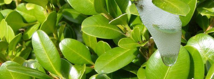 Mousse blanche sur les arbres les crachats de coucou - Maladie de l olivier mousse blanche ...