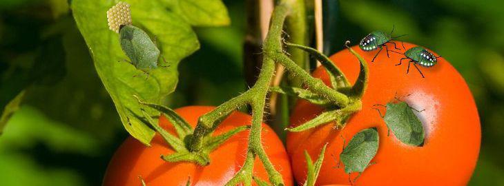 Punaises au jardin nazera viridula traitement for Vers dans les tomates