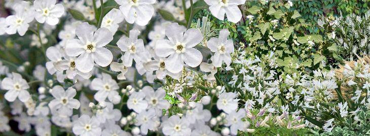 Omphalodes linifolia : culture,entretien