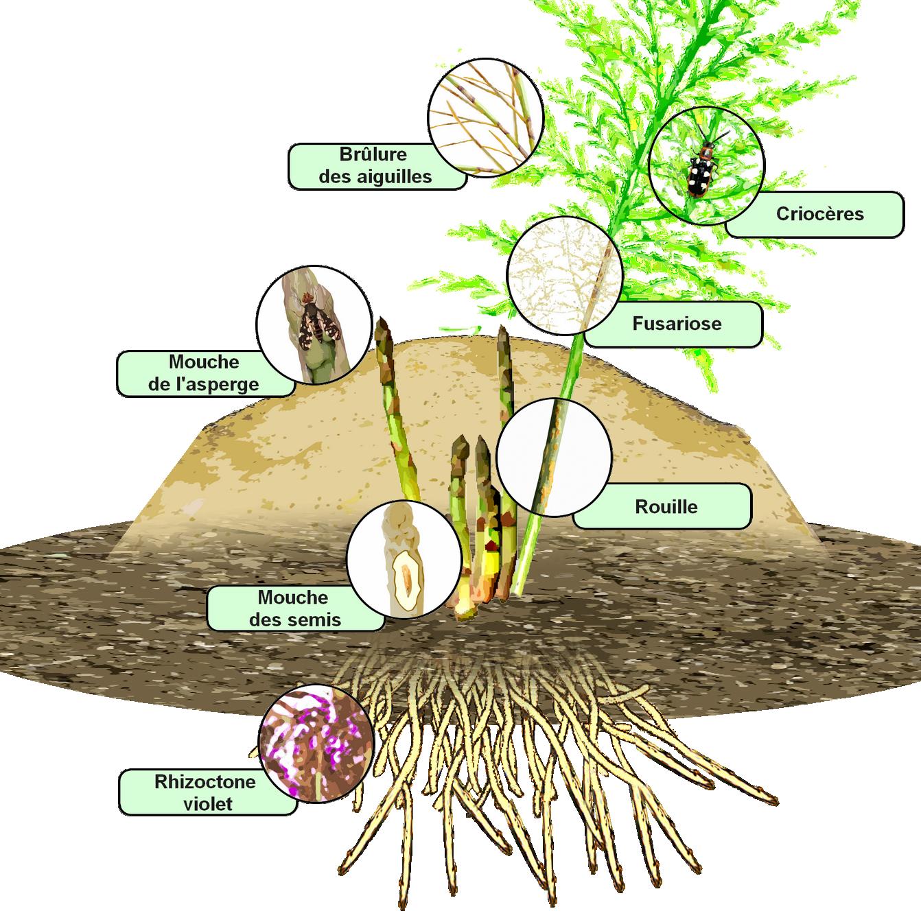 Index of wa images - Comment planter des asperges ...