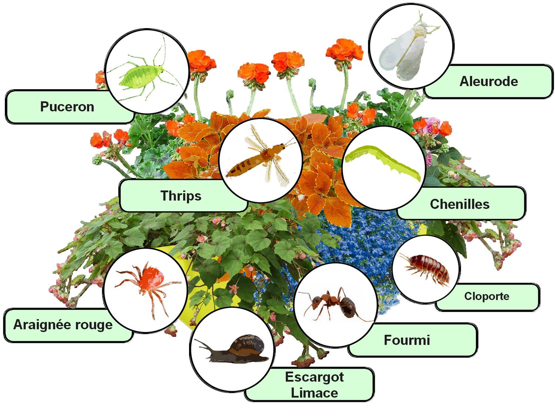Parasites et maladies des fleurs en pots et en jardini res for Vers dans les plantes