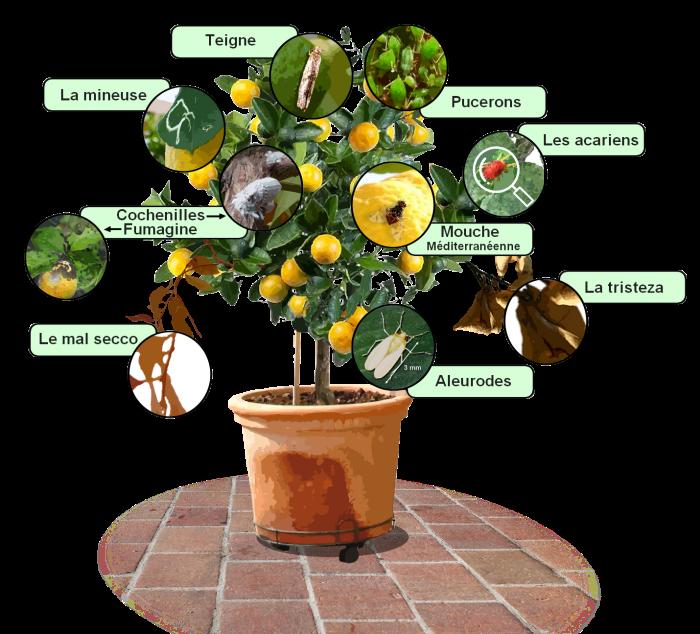 parasites et maladies des agrumes traitements bio. Black Bedroom Furniture Sets. Home Design Ideas