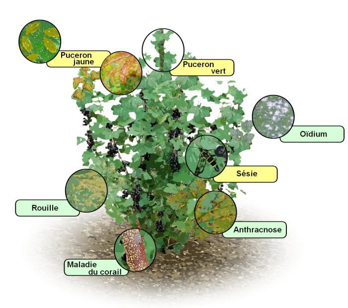 Parasites Et Maladies Des Cassis Traitements Bio