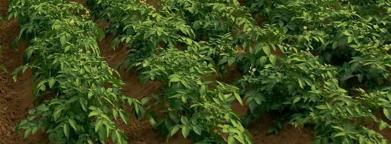 Parasites et maladies des pommes de terre traitements bio - Traitement pomme de terre ...