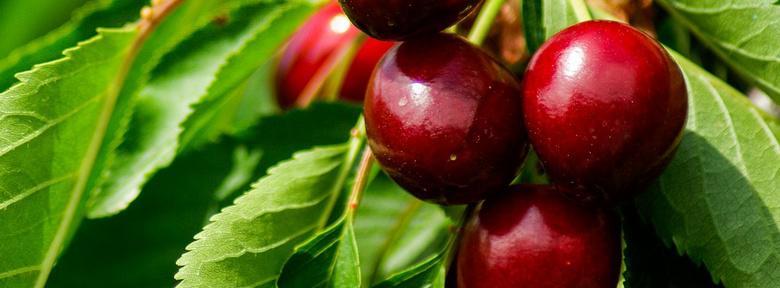 Maladie de l olivier mousse blanche maladies et parasites - Maladie de l olivier en pot ...