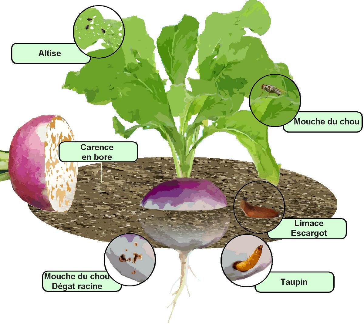 parasites et maladies du navet — traitements bio :
