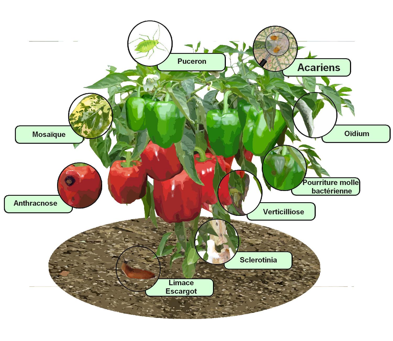 Index of wa images - Comment planter des poivrons ...