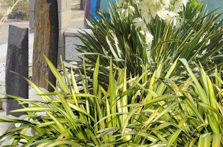 yucca gloriosa culture taille bouture. Black Bedroom Furniture Sets. Home Design Ideas