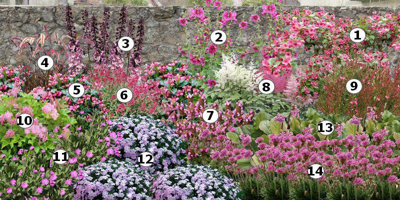 Cr er un massif de fleurs roses for Fleurs thes au jardin