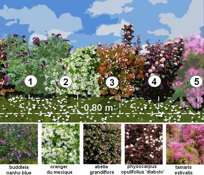 haie d corative une haie fleurie toute l ann e. Black Bedroom Furniture Sets. Home Design Ideas