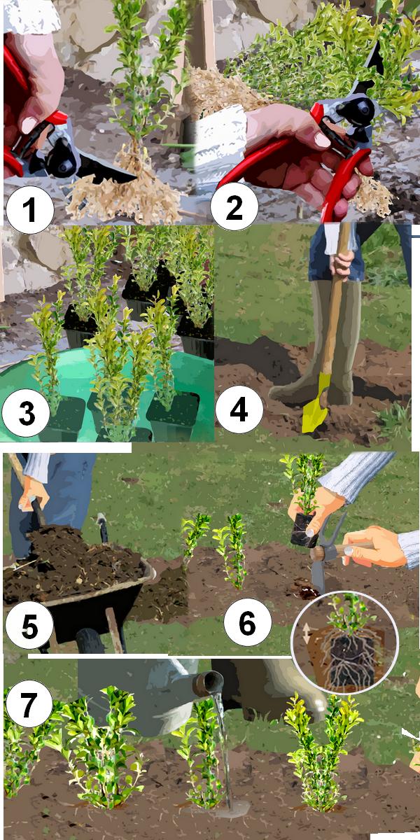 Quand planter buis 28 images buis planter et tailler for Jardin quand planter