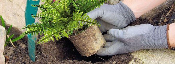 Comment et quand planter les fougères