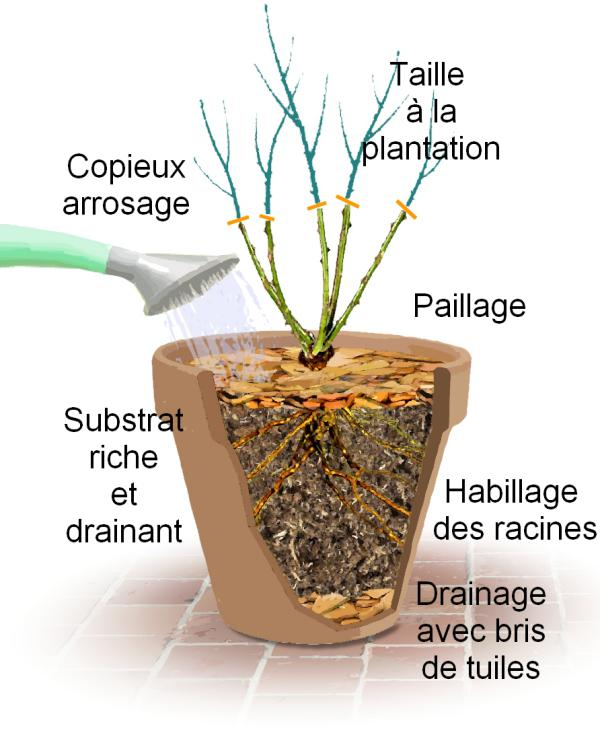 Planter et cultiver un rosier miniature en pot for Amaryllis plantation en pot