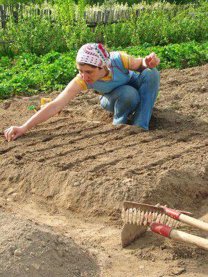Quand planter l 39 ail rose ou blanc automne ou printemps - Quand planter de l ail ...