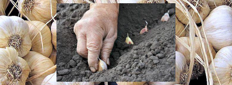 Quand planter l'ail rose ou blanc : automne ou printemps
