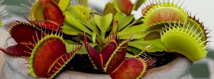 les plantes carnivores des plantes pour collectionneurs. Black Bedroom Furniture Sets. Home Design Ideas