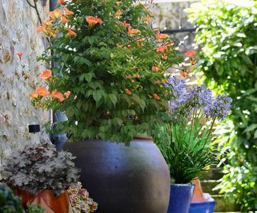 cultiver les plantes grimpantes en pots ou en bacs. Black Bedroom Furniture Sets. Home Design Ideas