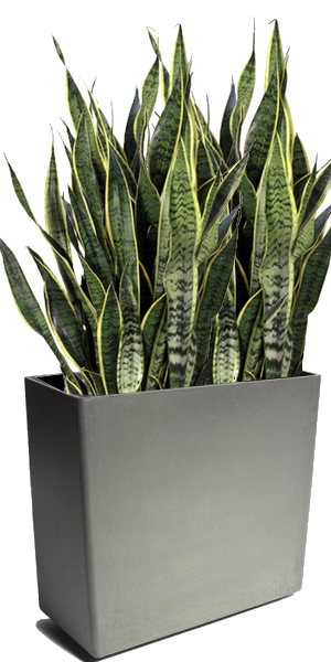 Sansevieria trifasciata langue de belle m re culture et for Plante design interieur