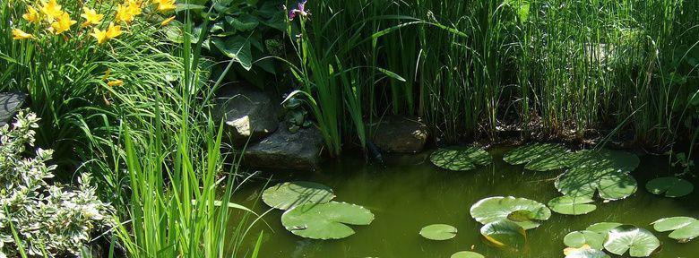 Plantes aquatiques feuilles flottantes immerg es ou de for Plantes arbustes vivaces