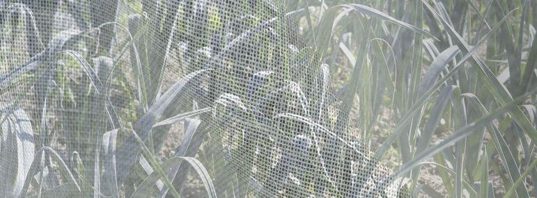Voiler les poireaux lutte bio contre la mouche mineuse - Maladie poireau mouche mineuse ...