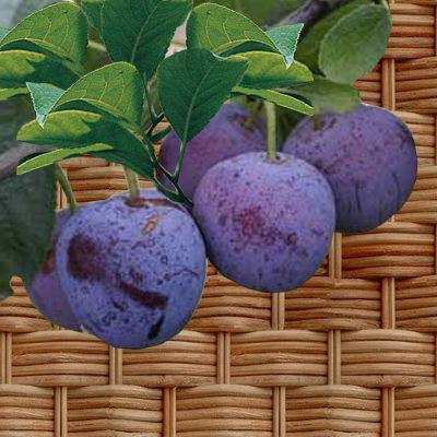Prunier cuture bio prunier variet s de prunes - Variete de pommier rustique ...