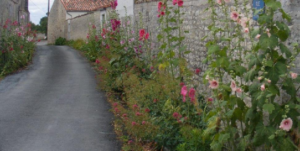 Rose tr mi re vari t s culture bio taille et entretien - Planter des roses tremieres ...