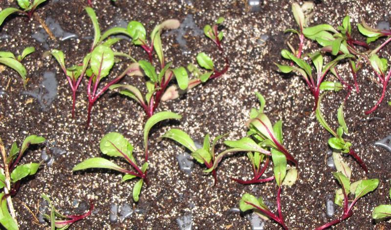 Betterave rouge culture bio vari t s - Arrosage gazon apres semis ...