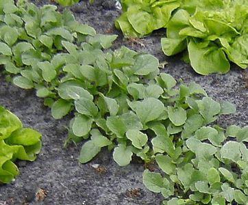 Semis du radis noir - Quand cueillir les radis ...