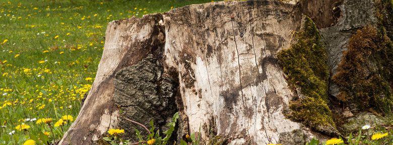 Supprimer une souche au jardin biologique - Comment supprimer le liseron au jardin ...