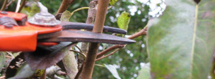 Taille des arbres fruitiers p pins taille de fructification taille en vert - Quand tailler arbre fruitier ...
