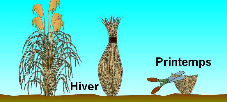 Les gramin es des herbes ornementales culture entretien for Quand tailler les graminees