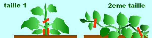Culture bio du melon entretien biologique et taille - Culture du melon charentais ...