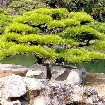 l art du niwaki comment tailler les arbres et arbustes en nuage. Black Bedroom Furniture Sets. Home Design Ideas