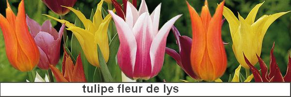 Tulipe : plantation, culture bio et variétés