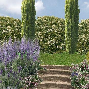 oranger du mexique choysia ternata plantation culture taille. Black Bedroom Furniture Sets. Home Design Ideas