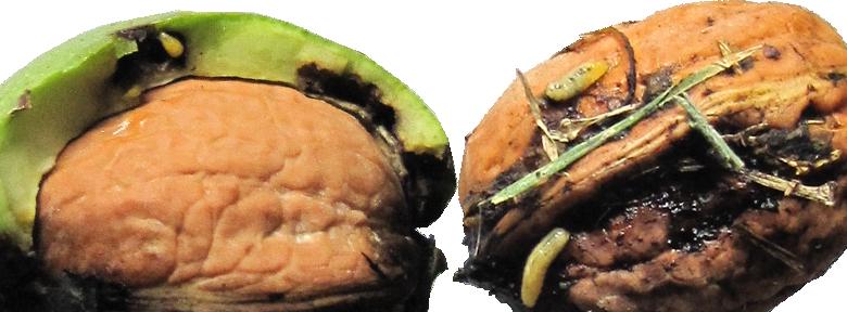 Maladies et parasites des noyers traitements bio - Traitement olivier bouillie bordelaise ...