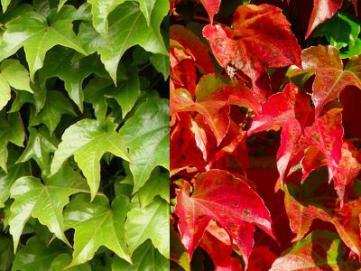 Vigne vierge amp lopsis parthenocissus culture - Comment cuisiner les feuilles de betterave rouge ...