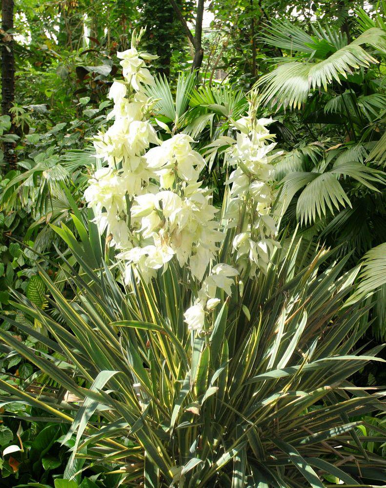 Yucca gloriosa culture taille bouture for Yucca exterieur rustique